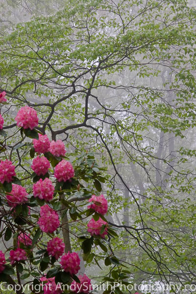 fine art photograph of Rhododendron on a Foggy Morning