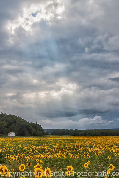 Sunflower Field Before the Storm fine art photograph