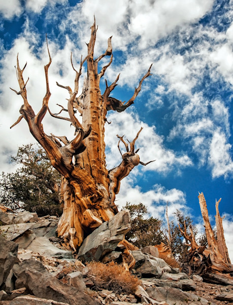 Bristlecone Tree Art. Sierra Nevada Landscape Photographs.