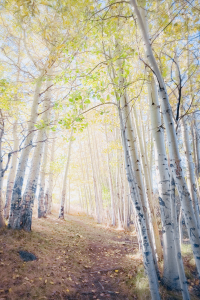 Lake Tahoe Aspen Trees Wall Art Photographs.