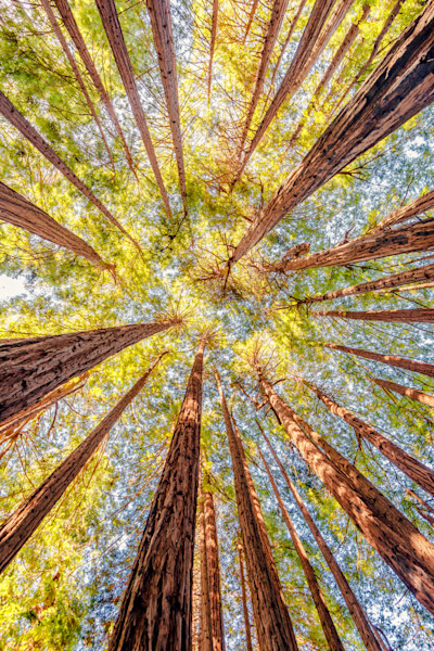 Redwood Tree Art Photographs.