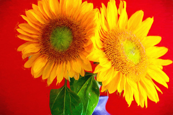 Two sunflower blossoms are set against a red background in this Open Edition print by photographer Todd McPhetridge.