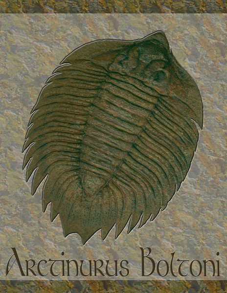 Arctinurus Boltoni Fossil Trilobite