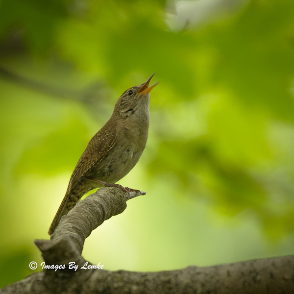 House Wren in Song