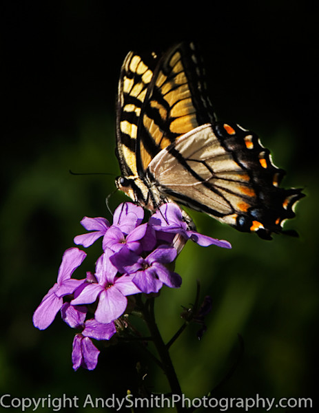 Eastern Tiger Swallowtail fine art photograph