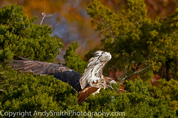 Red-tailed Hawk Taking Off fine art photograph