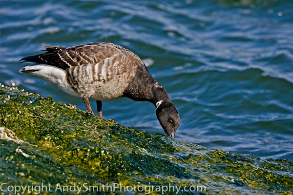 Brant Feeding fine art photograph