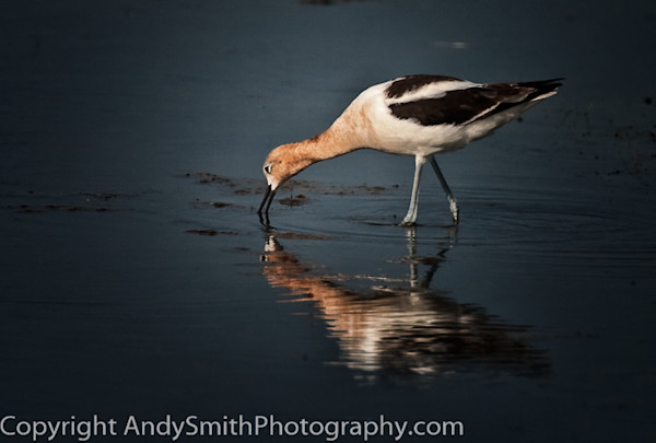 American Avocet  fine art photograph