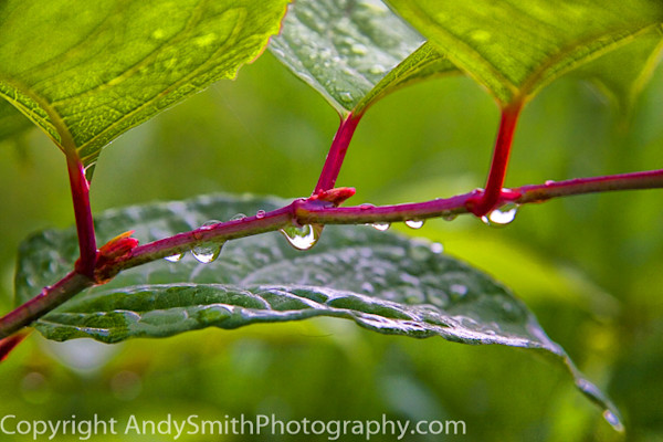 fine art photograph of Japanese Knotweed