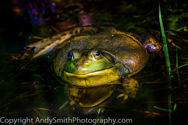 American Bullfrog at Longwood Gardens fine art photograph