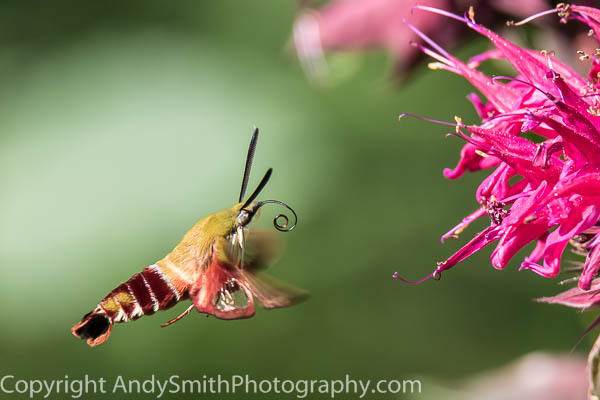 Hummingbird Moth Hovering  fine art photograph
