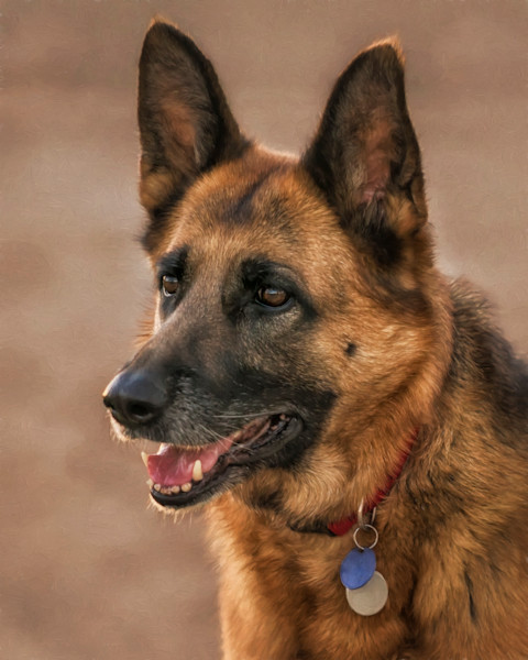 Portrait of a German Shepherd - Sabino Creek, Arizona 2016