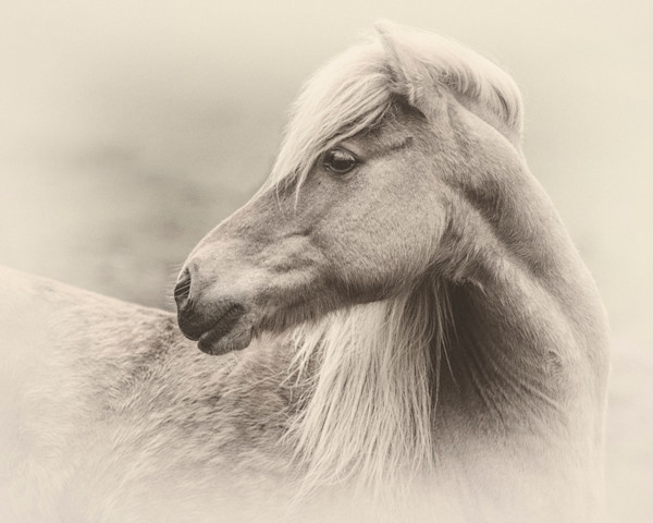 Head Portrait of an Icelandic Mare, sepia - Skálakot Farm, Iceland 2015