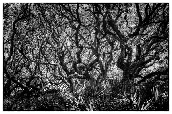 Live Oak and Palmetto, b&w - Cumberland Island, Georgia 2015