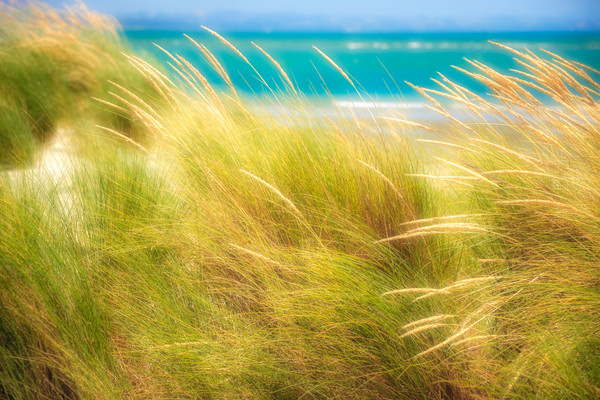 Beach Grass - Nelson, South Island, New Zealand 2009