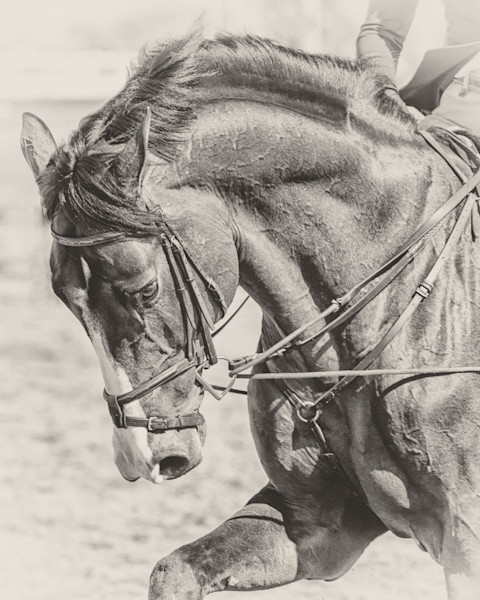 Draw Reins, b&w - HITS Desert Circuit, Thermal, California 2015