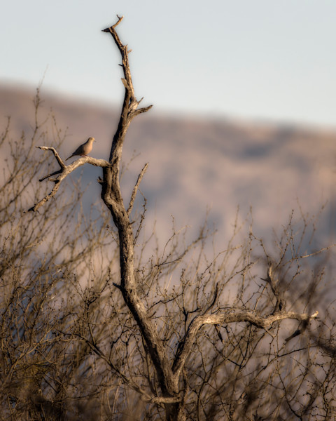 Dove in Mesquite - Sabino Creek, Arizona 2016
