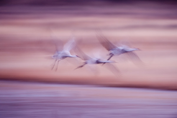 Wingbeats Trio - Bosque del Apache, Socorro, New Mexico 2009