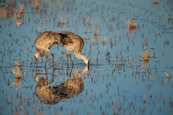 Reflected Cranes - Bosque del Apache, Socorro, New Mexico 2009