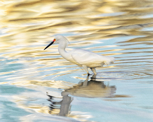 Snowy Egret Reflected, blue & gold - Jekyll Island, Georgia 2015