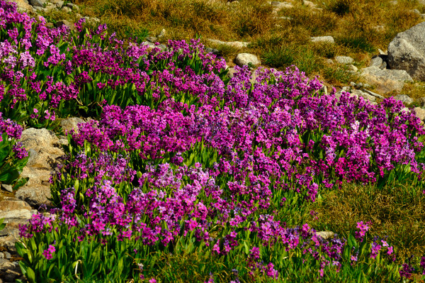 Field of Fairy Primrose (Primula malacoides) - Indian Peaks Wilderness