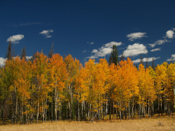 Golden Aspen Trees in Grand Lake, Colorado