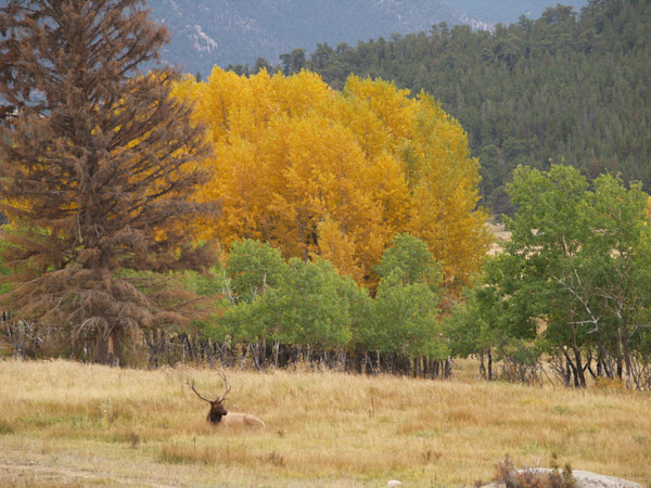 Elk Among the Aspen--Rocky Mountain National Park, Estes, Colorado