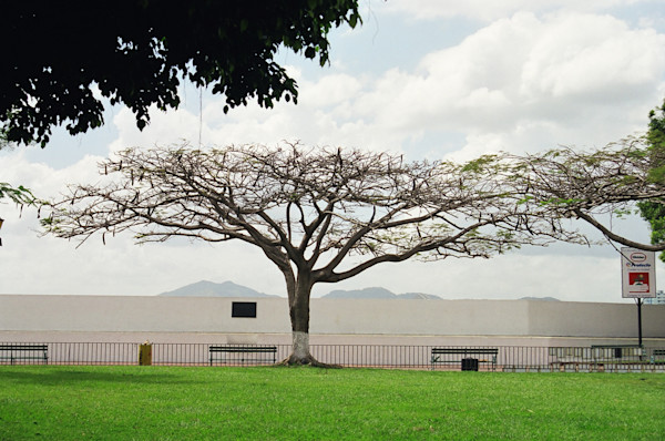 Flat-Topped Tree--Panama City, Panama