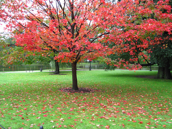 Shedding of the Red Autumn Leaves--Boston, Massachusetts