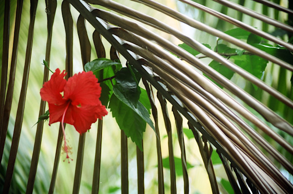 Hibiscus In Palm