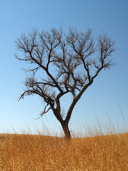 Lone Tree on Tall Grass Prairie--Near Junction City, Kansas