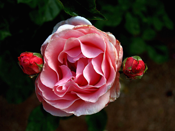 A Rose and Two Buds