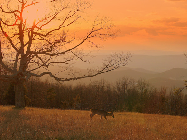 Golden Sunset with Deer in Shenandoah Mountans of Virginia