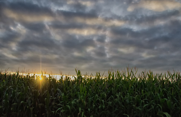 Rows of Corn Landscape Photo Wall Art by Landscape Photographer Melissa Fague