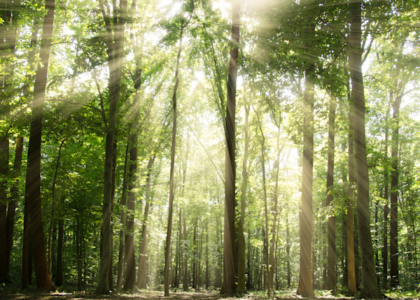 Sun Rays through Tree Tops Landscape Photo Wall Art by Landscape Photographer Melissa Fague
