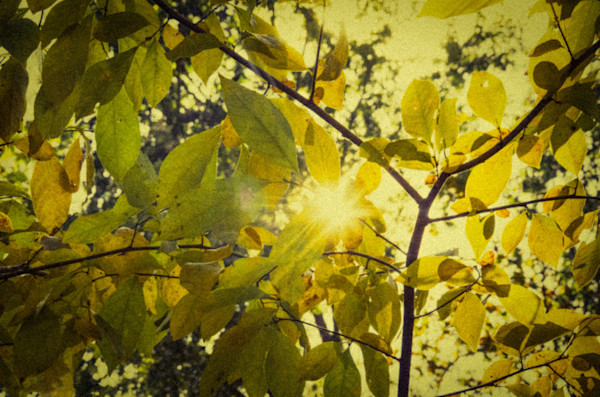 Aged Golden Leaves Nature Photo Wall Art by Nature Photographer Melissa Fague