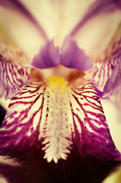 Antiqued Iris Nature Photo Wall Art by Nature Photographer Melissa Fague
