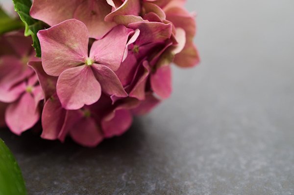 Close up Hydrangea on Slate Nature Photo Wall Art by Nature Photographer Melissa Fague