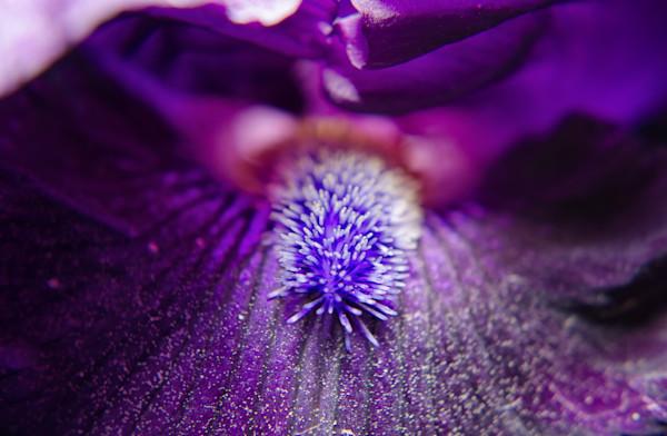 Eye of Iris Nature Photo Wall Art by Nature Photographer Melissa Fague