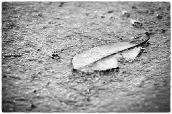 Fallen Leaf in The Rain Nature Photo Wall Art by Nature Photographer Melissa Fague