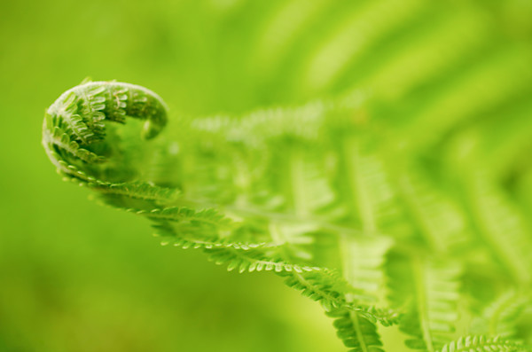 Fern Curl Nature Photo Wall Art by Nature Photographer Melissa Fague