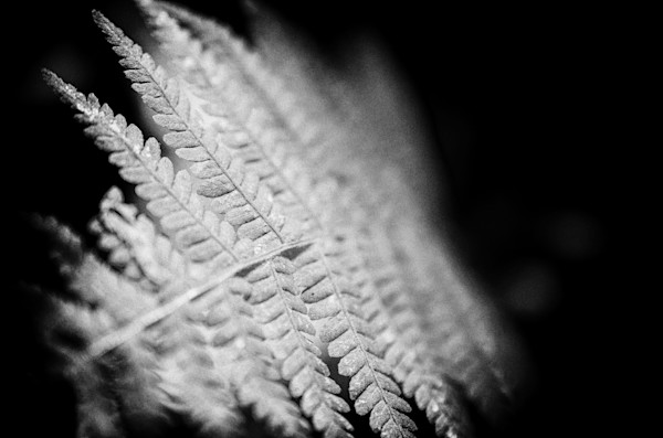 Fern Leaf in the Sunlight Nature Photo Wall Art by Nature Photographer Melissa Fague
