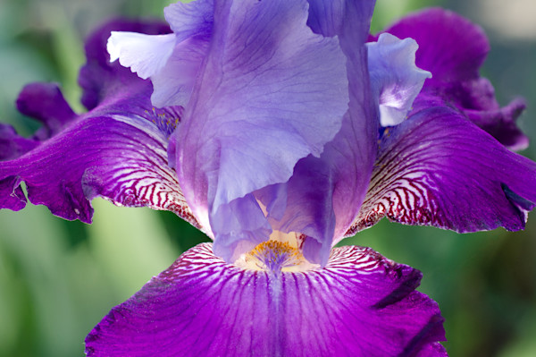 Glowing Iris Nature Photo Wall Art by Nature Photographer Melissa Fague
