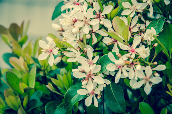 Indian Hawthorn Shrub in Bloom Colorized Nature Photo Wall Art by Nature Photographer Melissa Fague