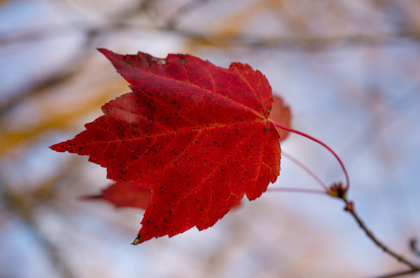Last of the Leaves Nature Photo Wall Art by Nature Photographer Melissa Fague