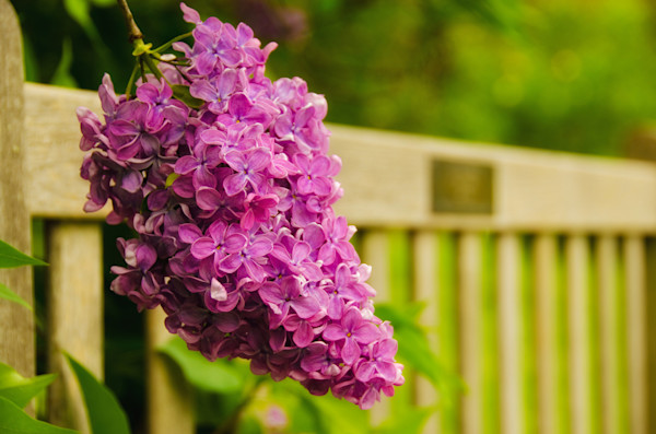 Park Bench with Lilac Nature Photo Wall Art by Nature Photographer Melissa Fague