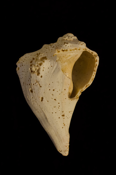 Beautiful States of Erosion Image 1 Whelk Shell Nature Photo Wall Art by Nature Photographer Melissa Fague