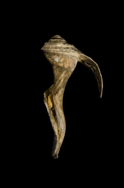 Beautiful States of Erosion Image 4 Whelk Shell Nature Photo Wall Art by Nature Photographer Melissa Fague
