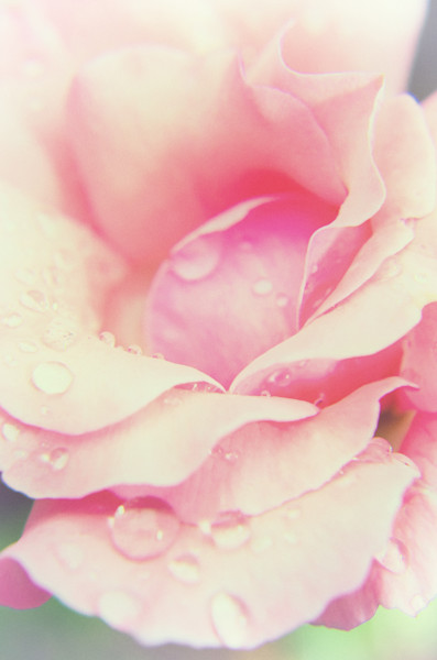 Softened Rose Nature Photo Wall Art by Nature Photographer Melissa Fague