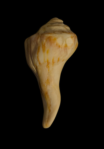 Beautiful States of Erosion Image 9 Whelk Shell Nature Photo Wall Art by Nature Photographer Melissa Fague